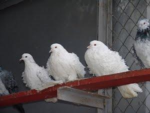 Летите, голуби, летите...